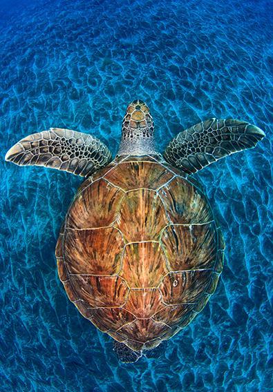 Jordi Chias_Turtle Gem
