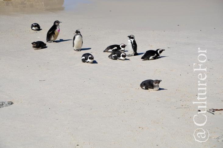 Boulders Beach @Simon's Town, Sudafrica_ www.culturefor.com