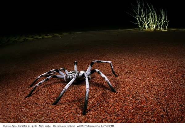 Javier Aznar Gonzalez Rueda_Un cacciatore notturno_Wildlife Photographer of the Year 2014