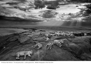 "Michael ""Nick"" Nichols_L'ultima grande foto_Wildlife Photographer of the Year 2014"
