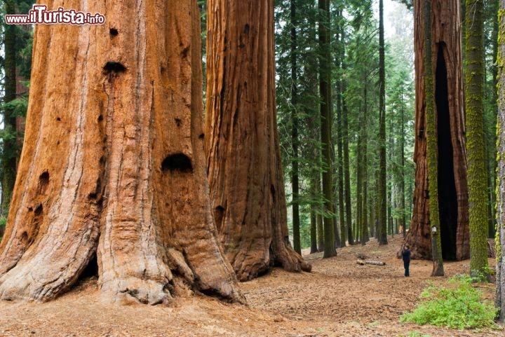 Una_turista_ai_piedi_dei_grandi_alberi_del_Parco_Nazionale_Sequoia_Kings_Canyon_90135877