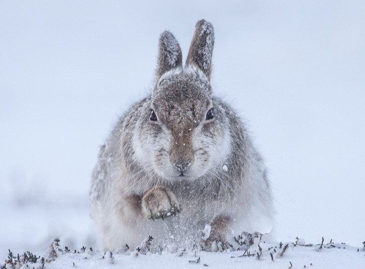 21_-rosamund-macfarlane_snow-hare
